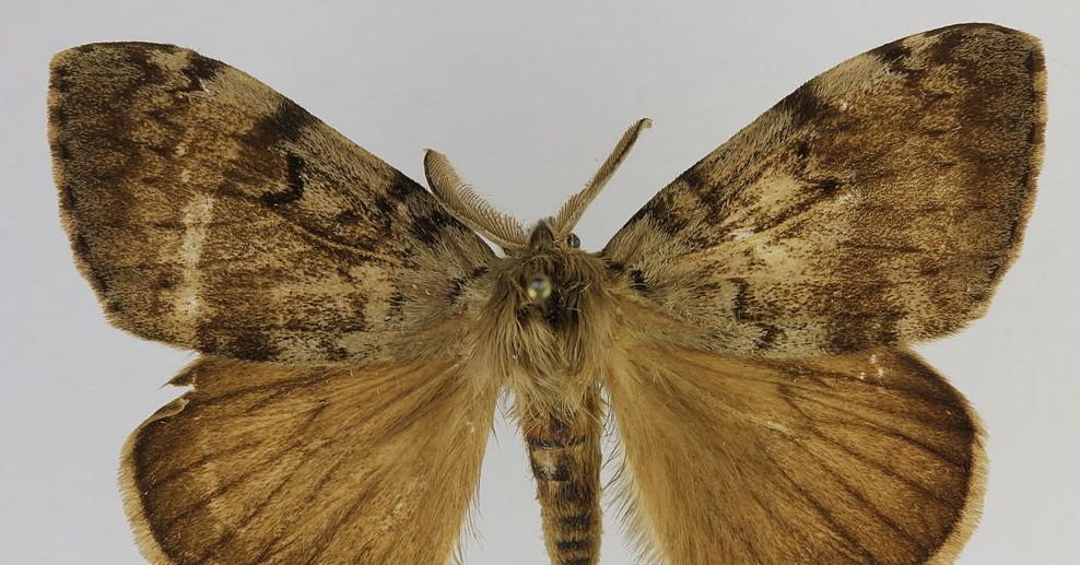 Contrairement à la femelle, le papillon mâle se déplace facilement dans les airs, il est de couleur brune, possède un abdomen fin et des antennes ornées de poils. Vitaman-Wikimedia