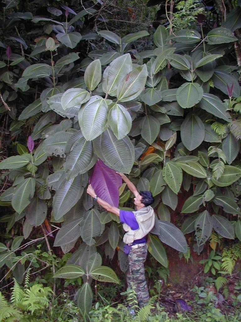 Tahiti-Marau-Nov 2000-JYM & Miconia (Eloise Killgore)