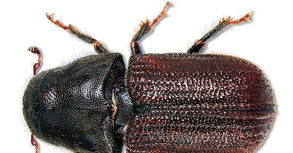 Les dendroctones sont attirés par l'odeur du bois endommagé. Il se nourrit de la partie interne de l'écorce en creusant des galeries. Steve Clarkson-Wikimedia