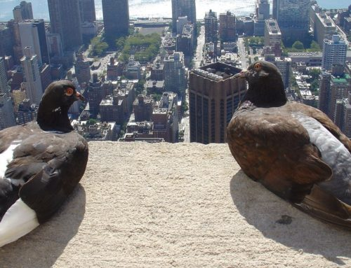 Pollution: pigeon escape from harmfull smog