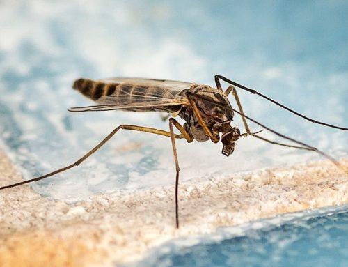 Le moustique commun (Culex pipiens)