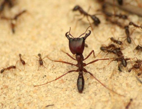 Invasive ants: the war of colonies