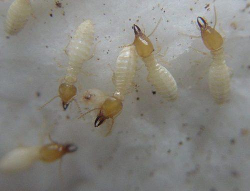 Termite de Formose